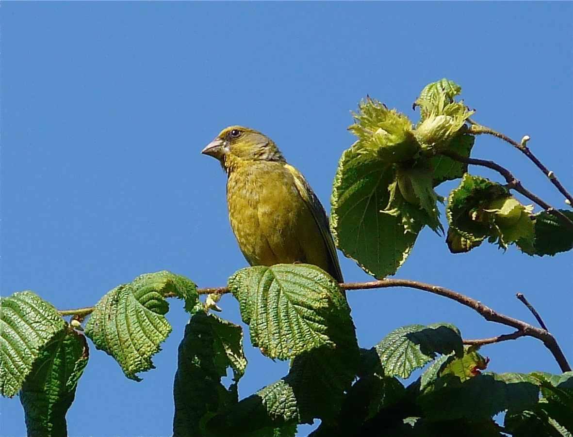 Oiseaux passereaux de france quel est cet animal for Oiseau couleur