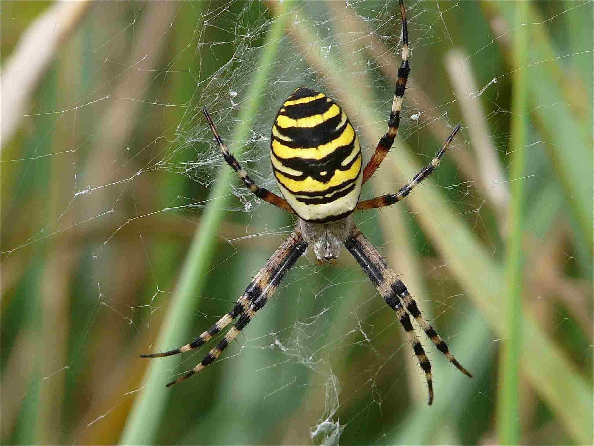 Araign e jaune et noire archives quel est cet animal - Tapisserie rayee noir et blanc ...