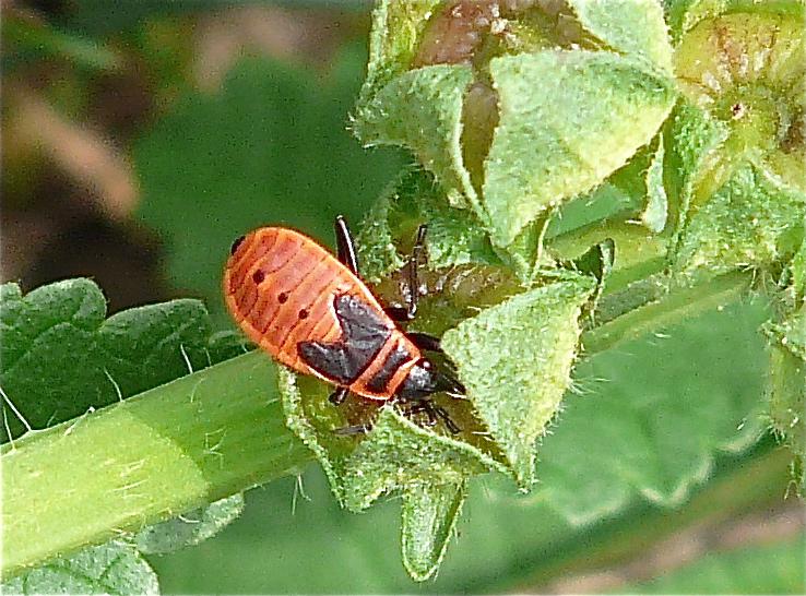 Le gendarme ou cherche midi quel est cet animal - Insecte rouge et noir ...