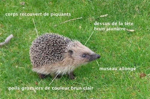 Erinaceus europaeus