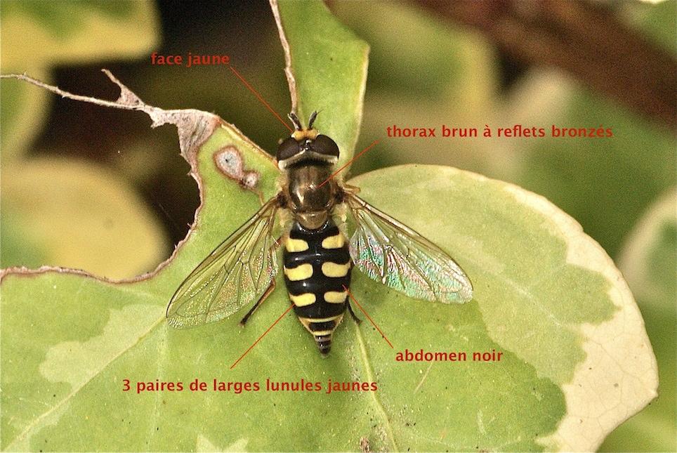 Le syrphe des corolles quel est cet animal - Mouche jaune et noire ...