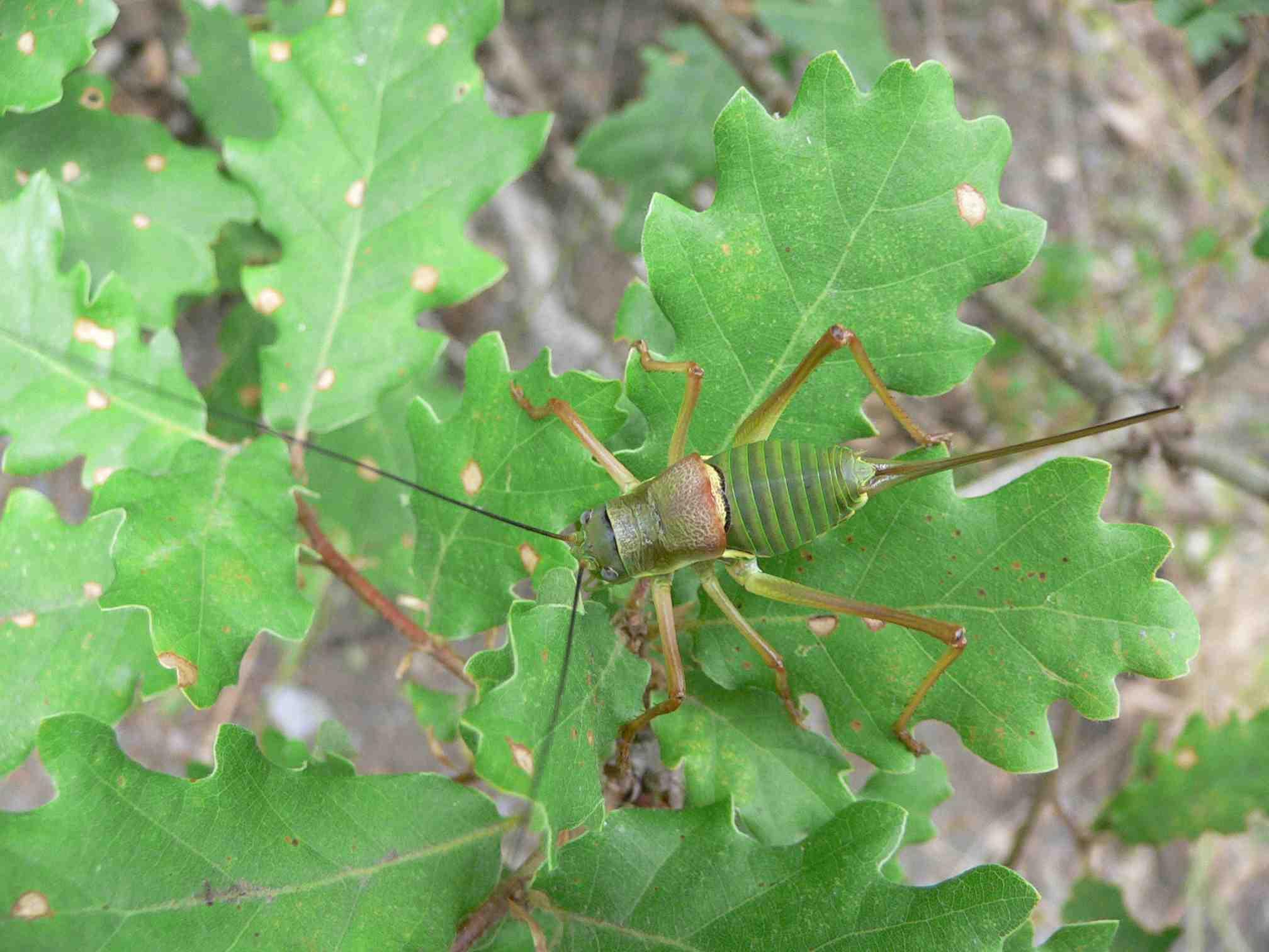 Un insecte volant animal vert br g n ralement ail dont - Insecte vert volant ...