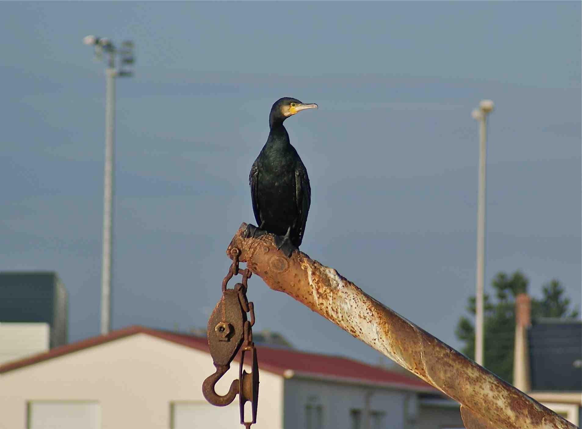 Oiseau de mer noir archives quel est cet animal for Oiseau noir bec jaune