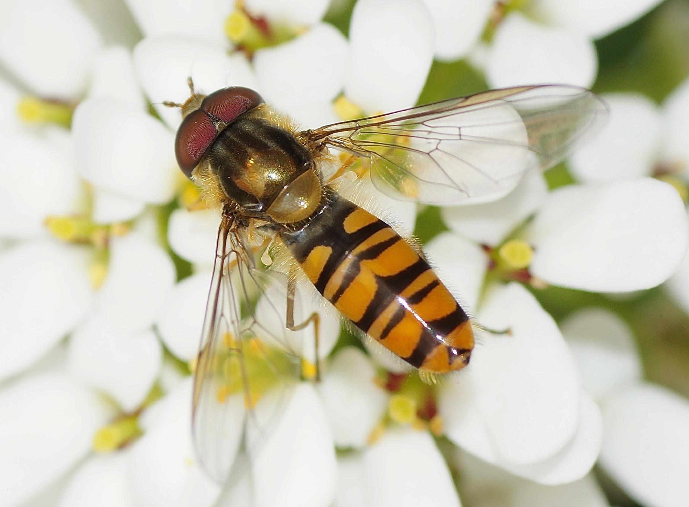 Insecte noir et jaune archives quel est cet animal - Mouche jaune et noire ...