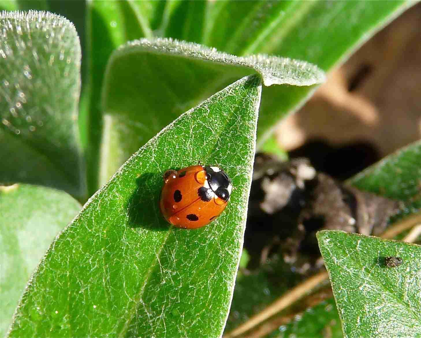 La coccinelle 7 points quel est cet animal - Insecte rouge et noir ...
