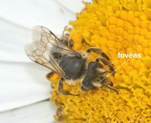fovéas chez Andrena flavipes