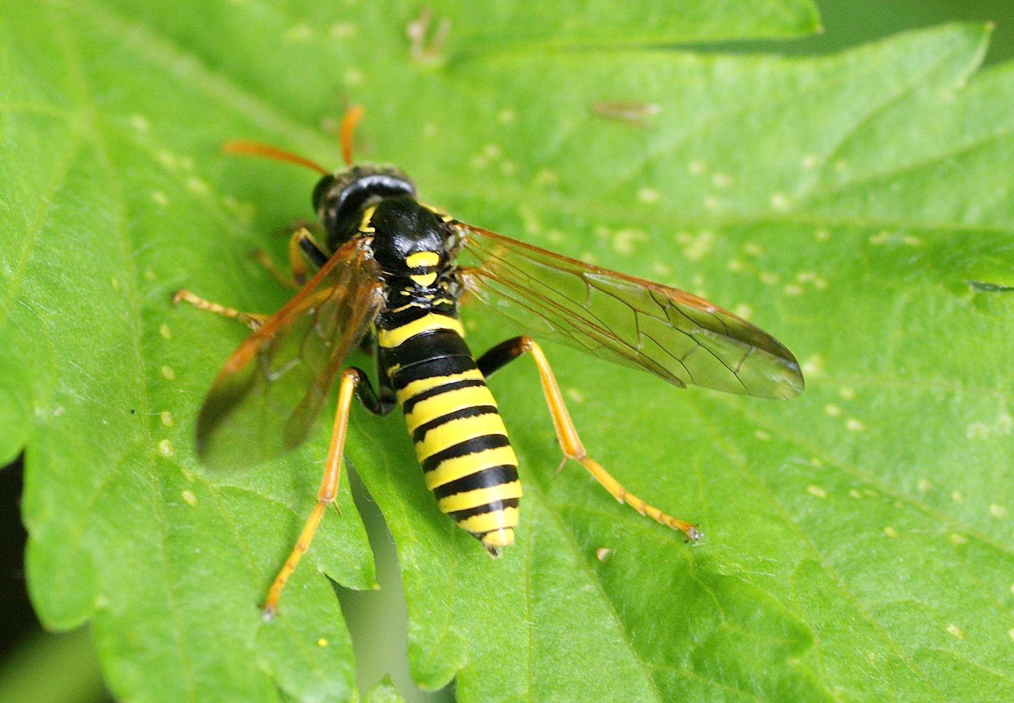L 39 allante de la scrophulaire quel est cet animal - Mouche jaune et noire ...