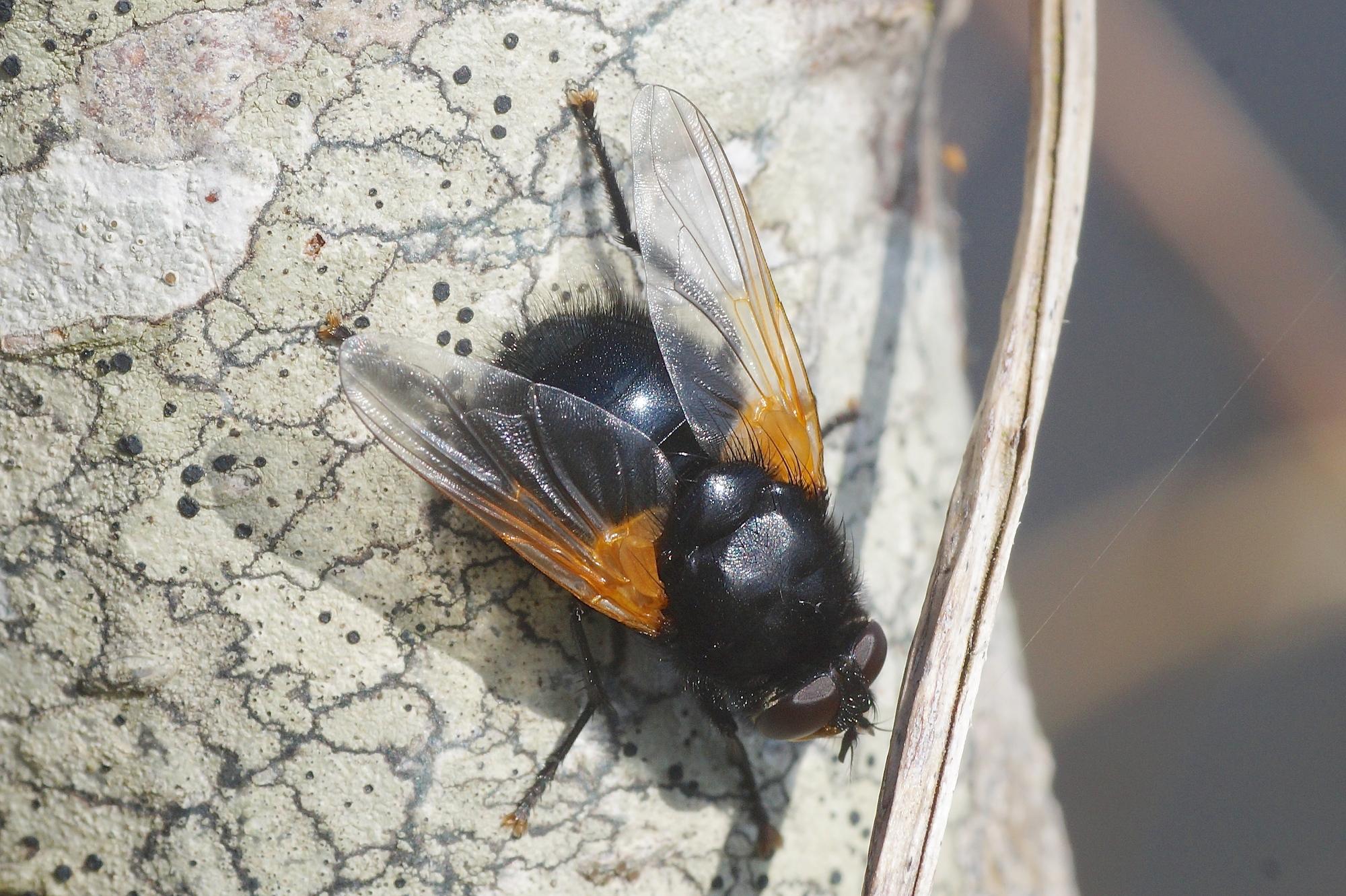 La mouche de midi quel est cet animal - Mouche jaune et noire ...