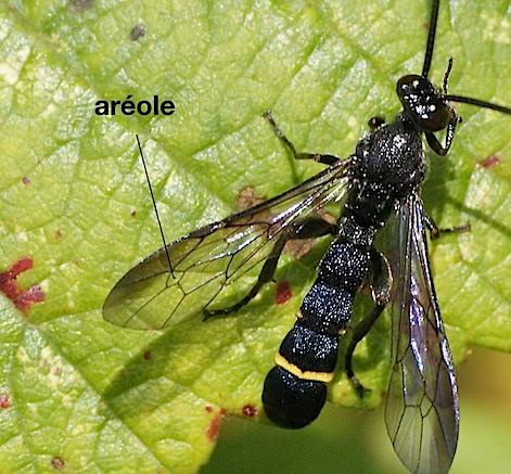 aréole chez un Ichneumonidae