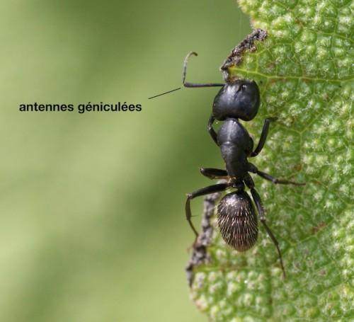antennes géniculées chez la fourmi camponote