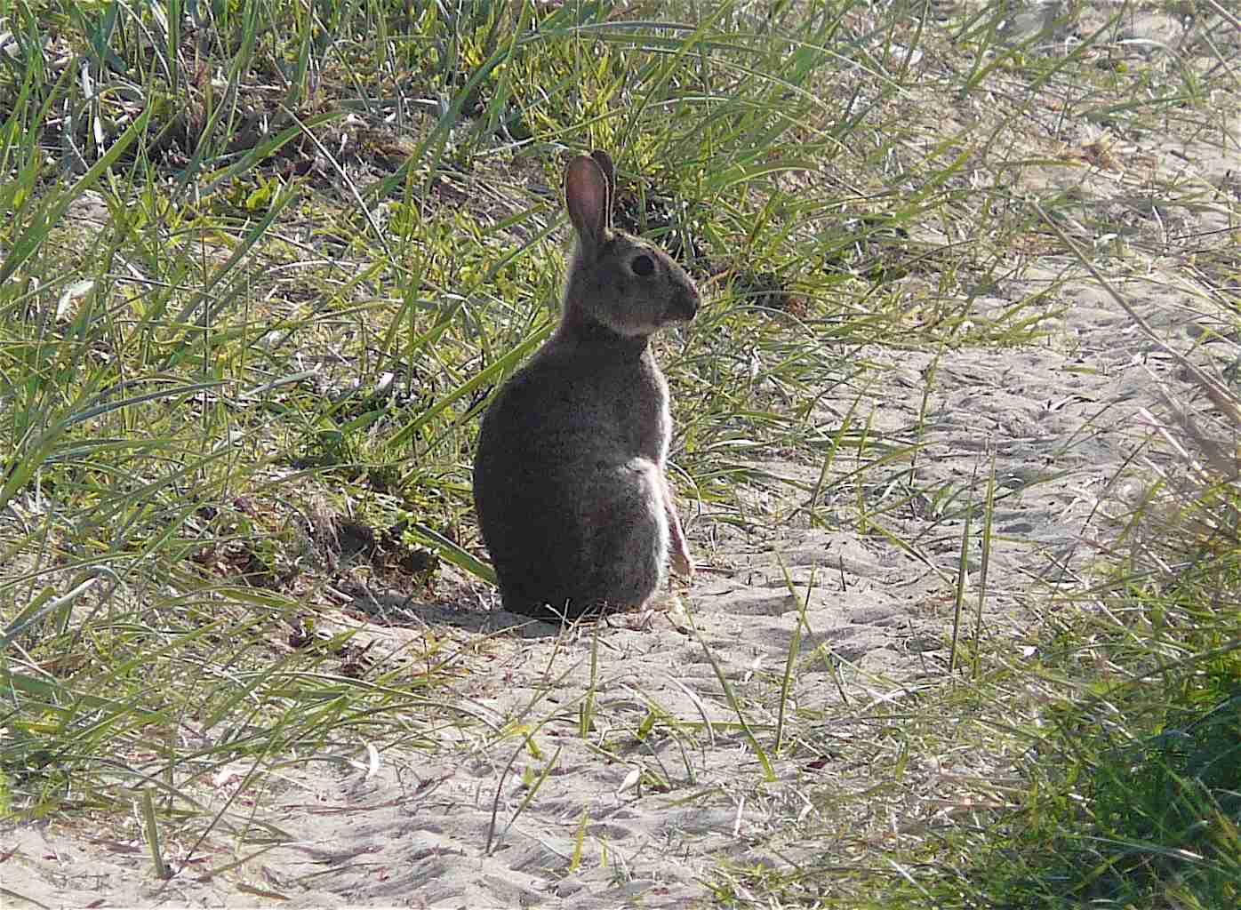 Souvent Le lapin de garenne - Quel est cet animal ? NW26