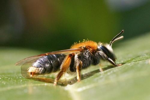 Andrena haemorrhoa