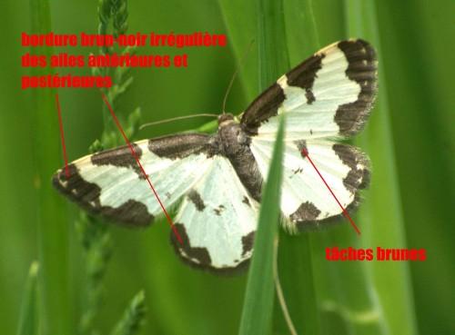 Lomaspilis marginata