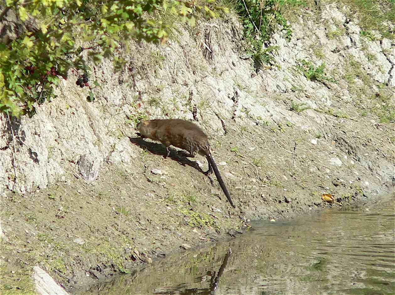 Le rat musqu quel est cet animal - Odeur que les rats detestent ...