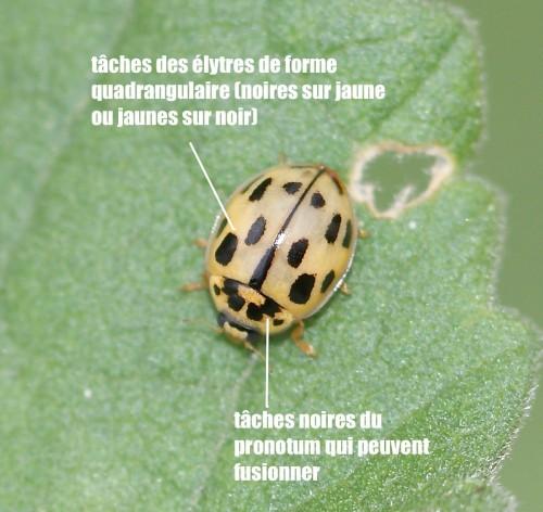 Propylea quatuordecimpunctata