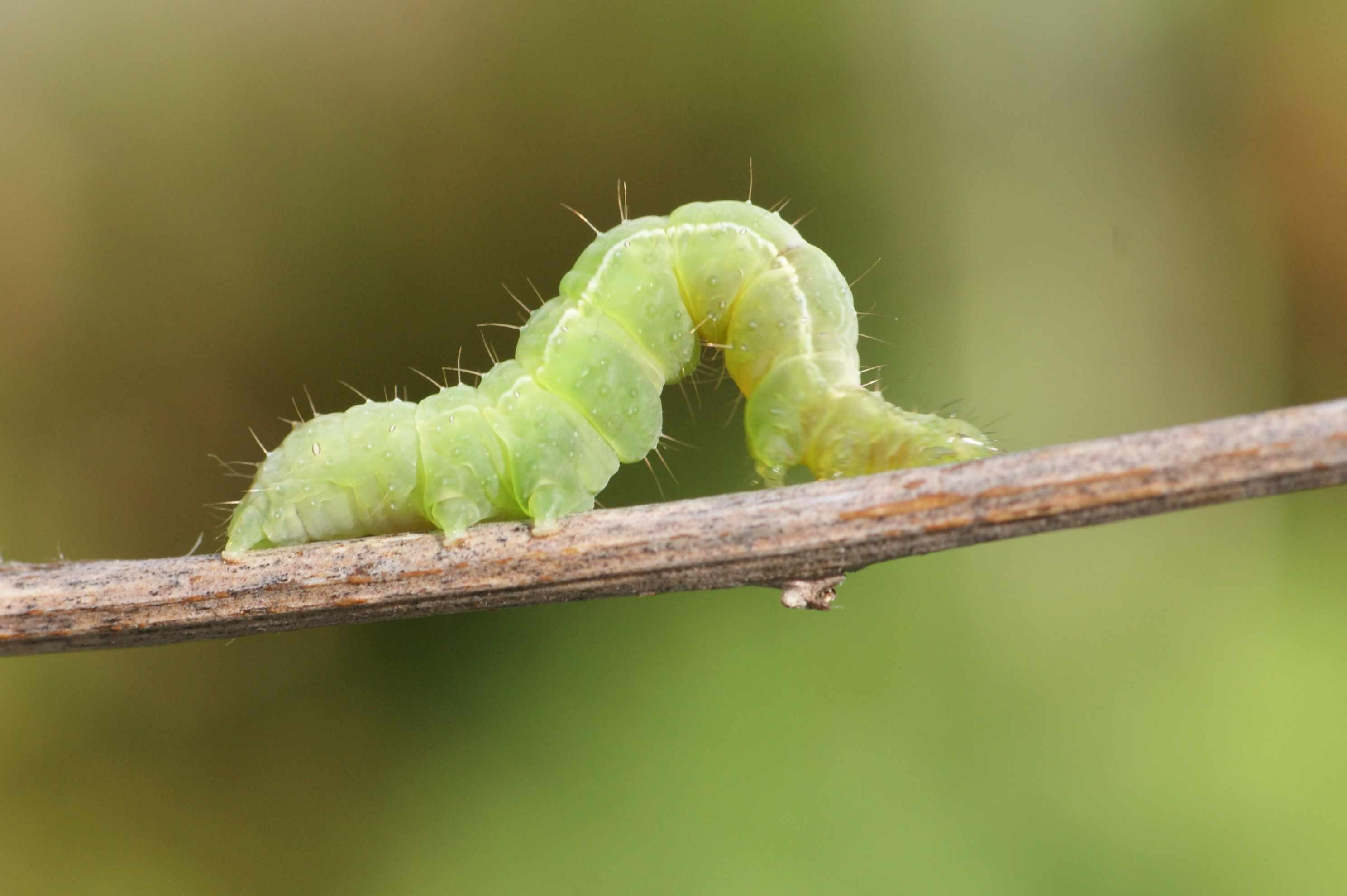 Le lambda ou le gamma quel est cet animal - Chenille verte et noire ...
