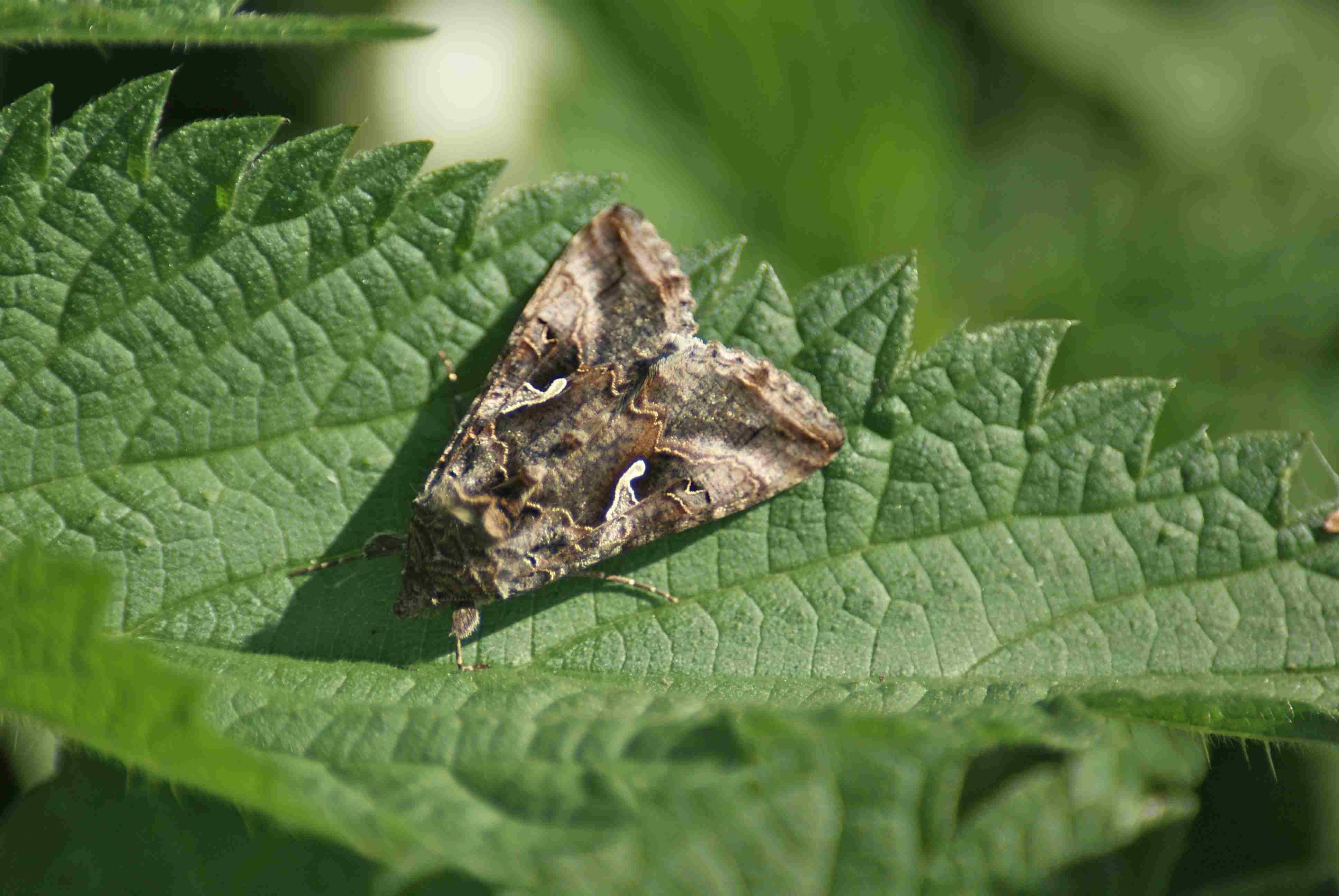 Le lambda ou le gamma quel est cet animal - Gros papillon de nuit dangereux ...