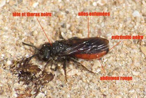 sphecodes albilabris02