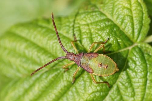 larve de gonocère