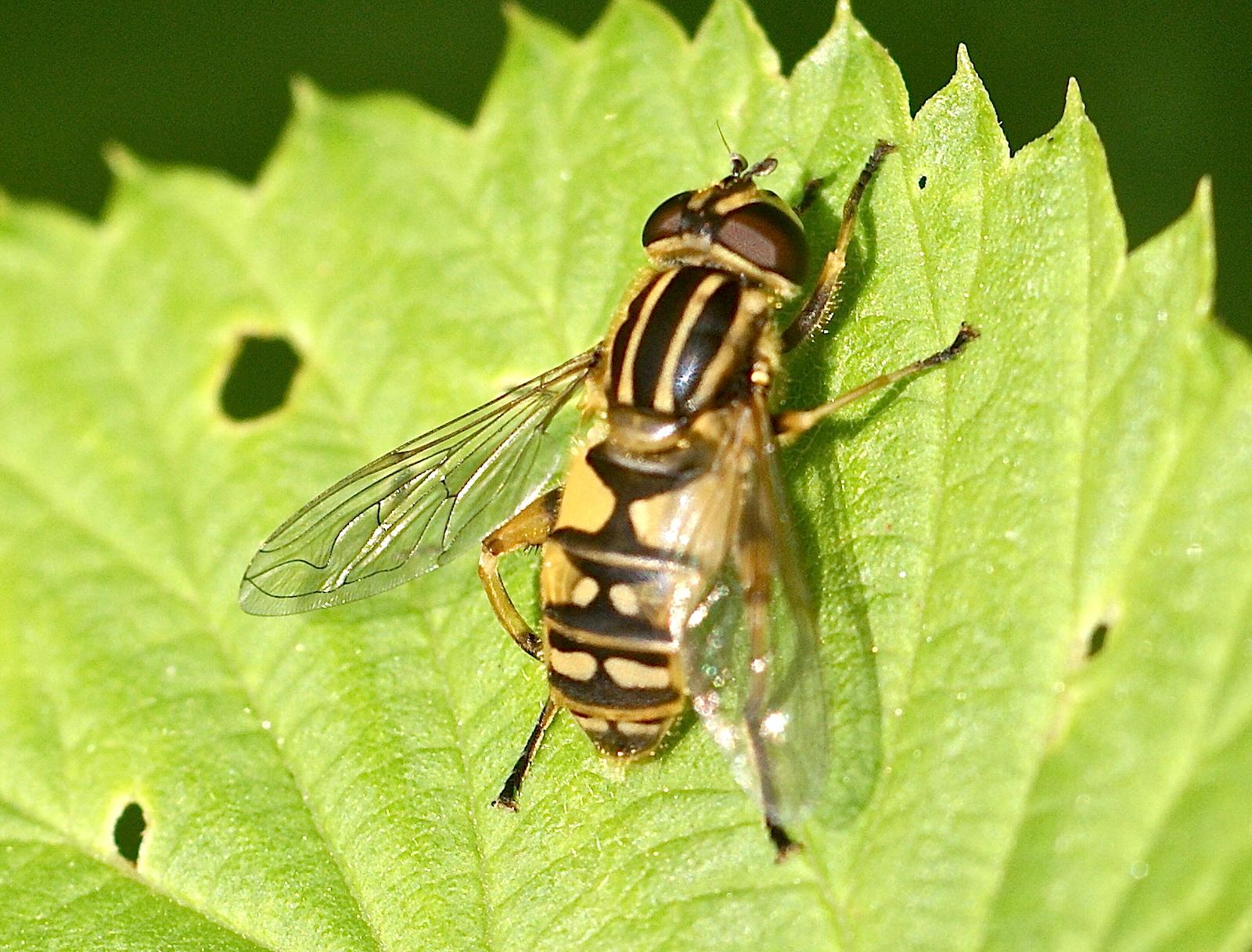 Les insectes l 39 abdomen jaune et noir quel est cet animal - Mouche jaune et noire ...