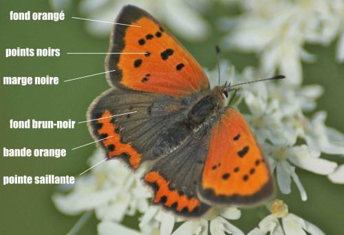 lycaena phlaeas05