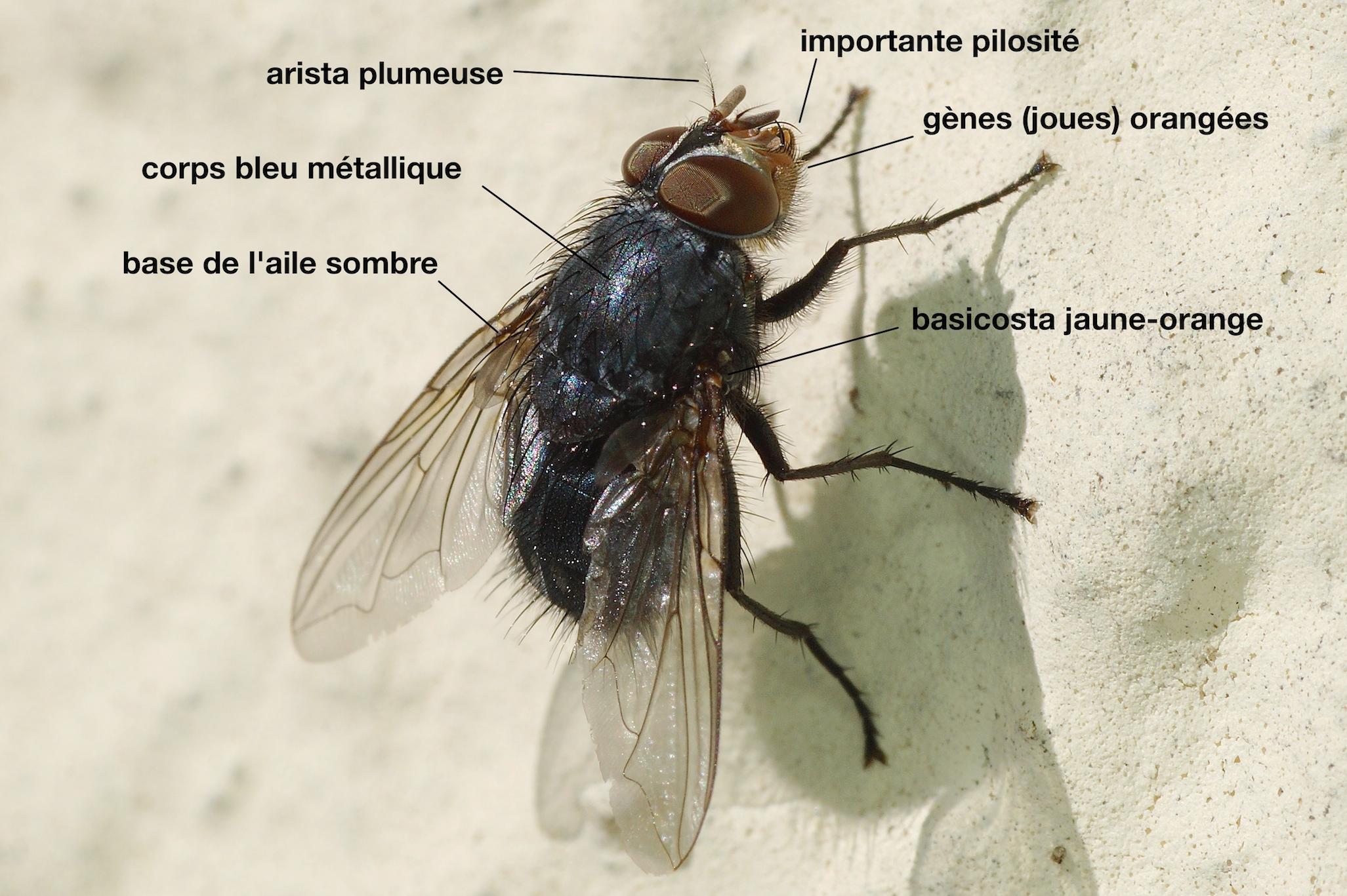 la mouche bleue quel est cet animal