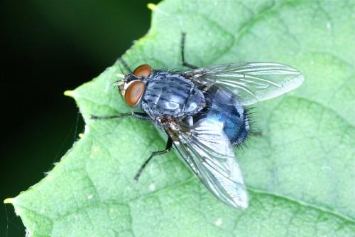 la mouche bleue