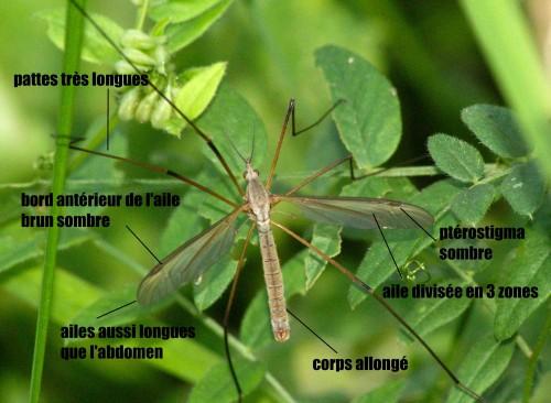 Tipula oleracea - copie