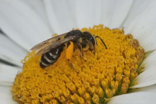 Andrena flavipes