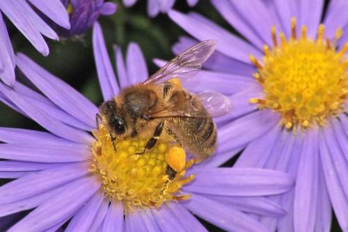 abeille domestique