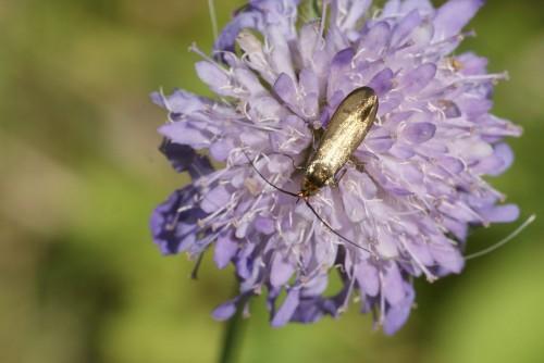 Nemophora metallica