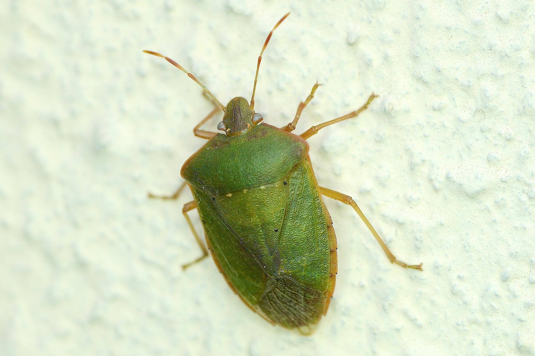 La punaise verte ponctu e quel est cet animal - Que mange les punaises ...