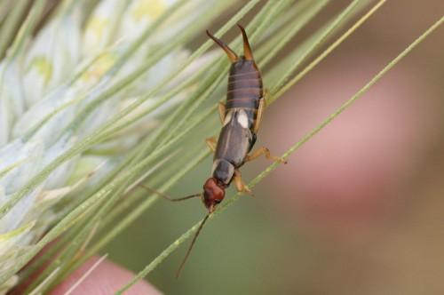 Forficula auricularia femelle