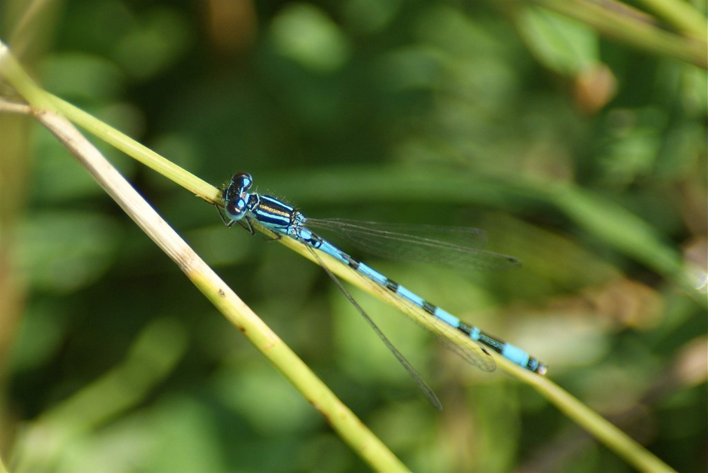 Coenagrion mercuriale mâle