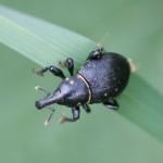 Liparus coronatus