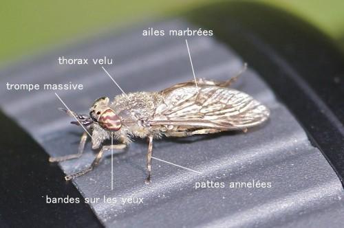 Haematopota pluvialis - copie