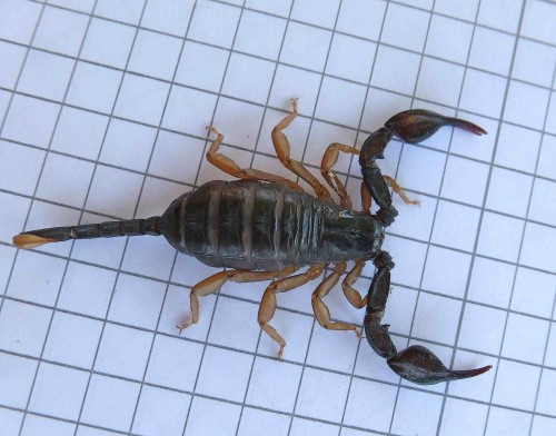 scorpion noir à queue jaune