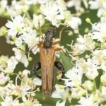 Œdemera podagrariae (mâle)