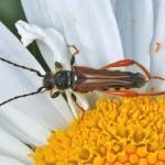 Stenopterus rufus