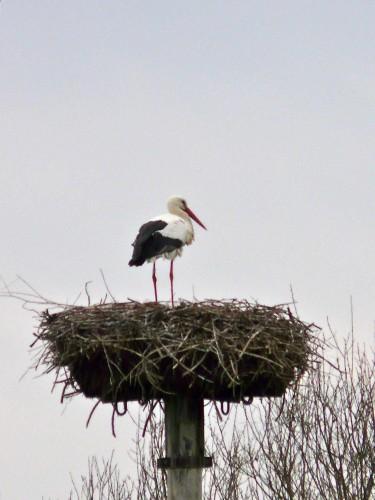 cigogne blanche au nid