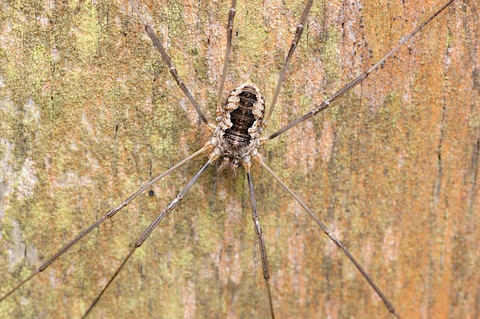Faucheux Araignée le faucheux cornu - quel est cet animal ?