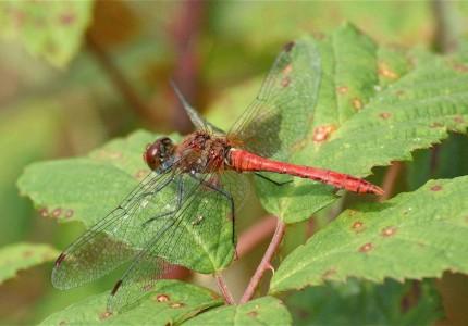 mâle de Sympetrum sanguineum