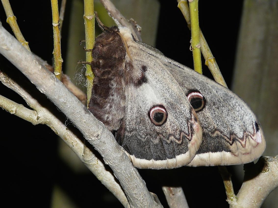 Le grand paon de nuit quel est cet animal - Gros papillon de nuit dangereux ...
