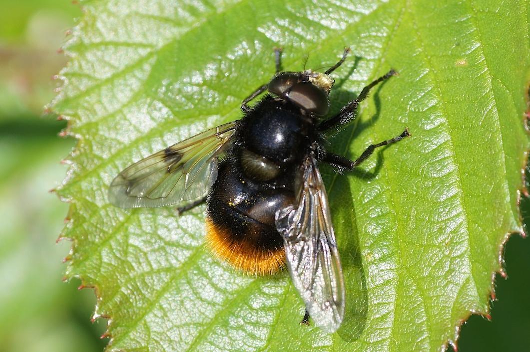 La volucelle bourdon quel est cet animal - Mouche jaune et noire ...