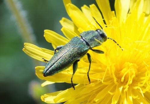 Anthaxia hungarica , mâle