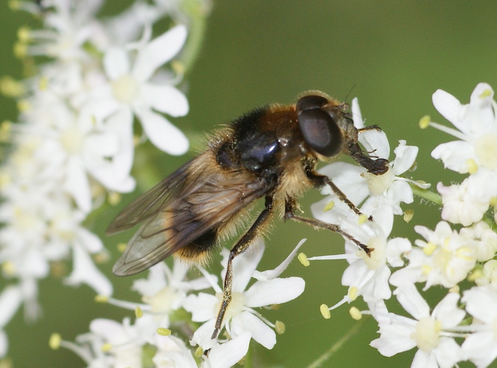 Cheilosia illustrata