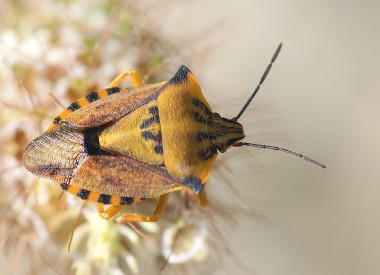 Carpocoris mediterraneus