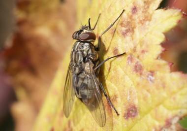 la mouche charbonneuse