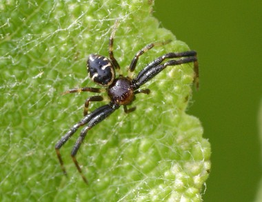 mâle de Synema globosum