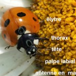 anatomie d'une coccinelle
